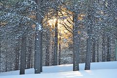 Golden Sunset (herbertshin) Tags: trees winter sunset white snow cold ice nature norway forest finland landscape golden frozen europe god sweden lappland religion north arctic lapland through scandinavia northern kiruna taiga jokkmokk jukkasjrvi