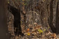 Indian Leopard (vaidyarupal) Tags: pantherapardusfusca indianleopard leopard felidae sasangir sasan girnationalpark gnp ahmedabad gujarat india mammalsofgujarat mammalsofindia mammalsofindiansubcontinent wildlife nationalpark wildlifephotography canon60d sigma150500mm vaidyarupal rupalvaidya