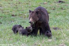 Grizz and cubs (aland67) Tags: animal female three outdoor wildlife cubs wyoming sow grizzlybear ursusarctoshorribilis yellostonenp alanddewit