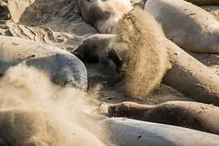 sandflipper