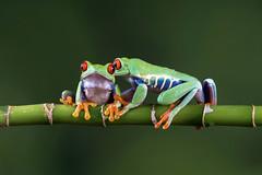 Seeing eye to eye (Explored) (hehaden) Tags: two plant stem amphibian frog bournemouth agalychniscallidryas redeyedtreefrog captivelight