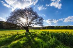 sunny day (Alexander Lauterbach Photography) Tags: sunny day sommer sonne raps rapsfeld canola deutschland germany sony a7rii