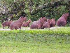 Capybaras (1 of 4) (Daniela Parra F.) Tags: capybaras capybara roedores rodents roedoresgigantes caviomorfos roedorescaviomorfos societies social