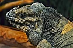 In the shadow of the beast (Starkrusher) Tags: arizona phoenix iguana reptiles worldwildlifezoo