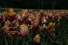 DSC_3859 (Copy) (pandjt) Tags: ca flowers canada bc britishcolumbia tulip abbotsford tulipfestival abbotsfordtulipfestival