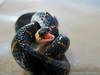 1174567_517083831700040_1579904627_n (marcelomadeiramartins) Tags: cobra snake bocejo bolinha dormideira enrolada