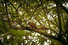 squirrel (Dirk Bruyns) Tags: canon squirrel belgium belgi 300mm 7d lightroom duffel cureuil eekhoorn 300l presets natuurpunt oudespoorwegberm