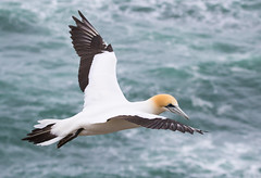 Gannet in flight (christinaportphotography) Tags: ocean sea newzealand wild white bird water beautiful birds flying focus dof bokeh free nz gannet muriwai morusserrator australasiangannet
