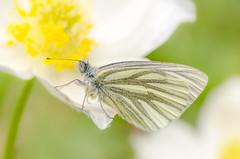 Butterfly (hjuengst) Tags: white flower macro green yellow closeup butterfly liechtenstein blume makro schmetterling
