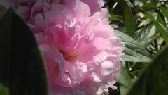 Natural affection (Energonik) Tags: pink flowers green nature affection peonies fragility