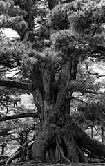 Pine Tree at Kenroku-en Garden (KellarW) Tags: impressive japan kenrokuengarden pinetree bw blackandwhite blackwhite bwtree bwpinetree kanazawa kanazawajapan treeoflife imposing looming large old ancient sacred