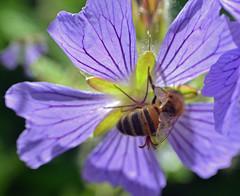 honey bee on blue flowering geranium (conall..) Tags: scotlandjune2016 honey bee macro flower geranium raynox blue cambo kingsbarns standrews fife walled garden heritage trust gardens