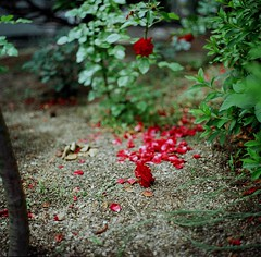 0626 BRONICA / EKTAR (tsukasa*) Tags: red catchycolors project365 bronicaec