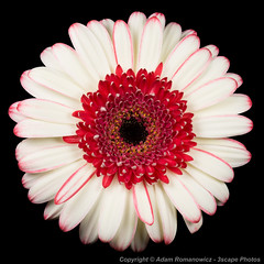 White and Red Gerbera Daisy (3scapePhotos) Tags: barbertondaisy gerber abstract barberton beautiful beauty bloom blossom botanical botany bouquet bud circle close closeup color colorful contemporary daisies daisy flora floral flower flowers garden gerbera horticulture interiordesign life macro modern natural nature pattern petal petals plant plants red round square still stilllife symmetrical symmetry texture wallart white