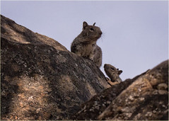 watching momma watching us (marneejill) Tags: baby squirrel rocks adult watching mother shy peeking