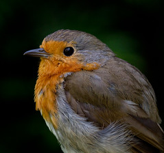Robin Redbreast, Portrait in Profile (Mukumbura) Tags: robin bird portrait profile redbreast garden nature england europeanrobin erithacusrubecula songbird wildlife feathers beak face eye reflection focus