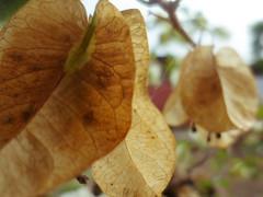 Dry petals (donnalynn cubelo) Tags: plants brown flower nature spider petals web dry bougainvillea cubelo