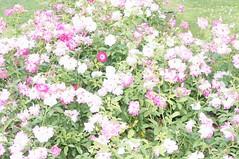 11221493_10153099672807076_2198020830278686741_o (jmac33208) Tags: park new york roses rose garden central schenectady