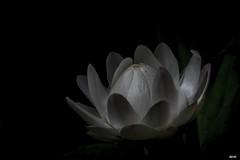 Strohblume (Katz-Ffm) Tags: flower nature yoga closeup germany hessen blossom frankfurt fineart blume makro tamron 90mm blte nahaufnahme strohblume nikond5300
