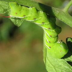 so this is what's eating my tomato plant leaves (mimbrava) Tags: mimbrava arr allrightsreserved larva mimbravastudio tobaccohornwormmanducasexta mimeisenberg caterpillarsmoths