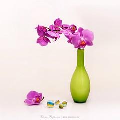 #rsa_mystery #allshots_#ig_gods#insta_crew #ig_masterpiece #ig_merida#interesting_image#ig_allaroundyou #instaghesboro #tv_lifestyle#worldwide_shot#exklusive_shot #shotaward #ig_nizza #ig_sergipe#colors_hub #ig_sergipe#insta_international  #tv_living#natu (elenapopkova) Tags: pink orchid highkey stillife orchidea