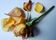 dying rose flower (baldpatch_) Tags: flower rose yellowrose yellow dying death nature beautiful