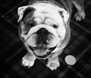 194/366 Crusher - 366 Project 2 - 2016 (dorsetpeach) Tags: dog bulldog 365 2016 366 rusher aphotoadayforayear 366project second365project