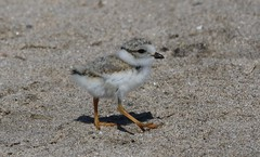 Endangered Piping Plover Chick (naturelover2007) Tags: bird nature wildlife explore endangered plover pipingplover shorebird charadriusmelodus naturelover2007