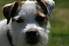 Dave the Parson Russell Terrier (made by maxine) Tags: dog cute dave puppy jackrussell parsonrussellterrier