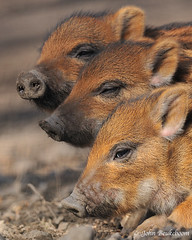 Three of a kind (John Beukeboom) Tags: nature mammal nikon wildlife natuur boar wildzwijn piglets wildboar zwijn susscrofa zoogdier d3x platinumpeaceaward mygearandme mygearandmepremium mygearandmebronze mygearandmesilver ringexcellence dblringexcellence tplringexcellence flickrstruereflection1 flickrstruereflection2 flickrstruereflection3 flickrstruereflection4 flickrstruereflection5 flickrstruereflection6 eltringexcellence johnbeukeboom