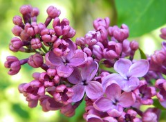 An untruth kept in the heart, is a burden which weighs down the soul. (careth@2012) Tags: ngc lilac faunaandflora fantasticnature naturescarousel livingjewelsofnature anaturecanvas itsallaboutflowers anaturecanvasthegallery frogpondflorals coloredpetalsgarden