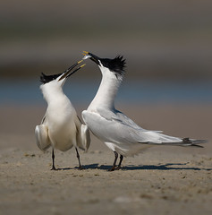 P1560928 2013-05-08 Sandwich Terns (Tara Tanaka) Tags: fortdesoto sandwichtern digiscoped 884 11wz