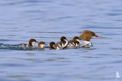 Il privilegio (_milo_) Tags: italy birds canon lago eos italia uccelli maggiore tamron oiseaux uccello merganser 70300 angera mergus 60d smergo
