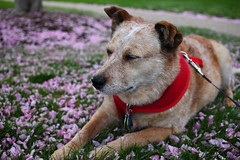 IMG_0075 (i_am_lee_sam) Tags: red dog senior female cherry cattle blossoms australian heeler acd adoptable ziva