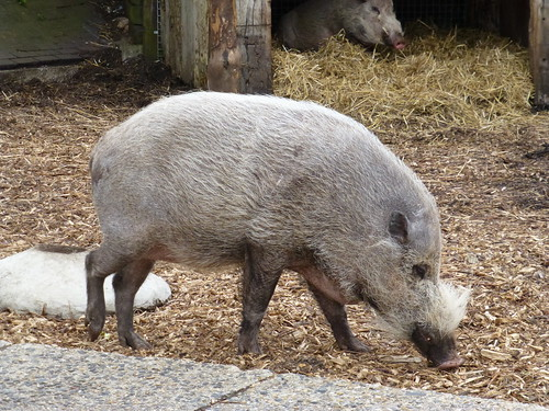 Bearded Pig - 10 May 2013