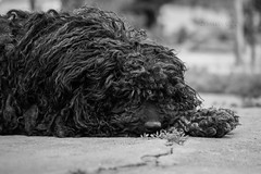 Herding Dog (Tams Szcs) Tags: bw dog curly lazy shaggy puli pulidog