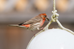 European House Finch (thanks Sharon!) (voteforbear) Tags: housesparrow 300mmf4 backyardbirds nikond4