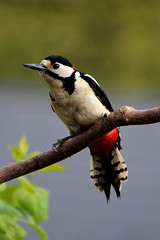 Great Spotted Woodpecker (johnny the cow) Tags: bird wales major woodpecker wildlife great cymru spotted ornithology ceredigion birdlife rspb llanafan dendrocopus