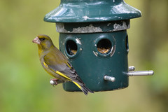 Greenfinch (steam41) Tags: birds animals greenfinch leightonmoss