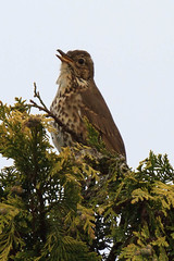 A rather bedraggled Song Thrush in full voice (rjns) Tags: england people nature birds fauna photographer unitedkingdom tonbridge thrush songthrush rjns