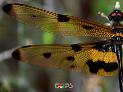 Give wings to your imagination (GOPAN G. NAIR [ GOPS Photography ]) Tags: wings dragonfly gops gopan gopsorg gopangnair gopsphotography