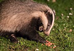Yay, Peanuts (Dan Belton ( No Badger Cull )) Tags: uk nature animal mammal cub native wildlife badger brock cubs melesmeles nocull