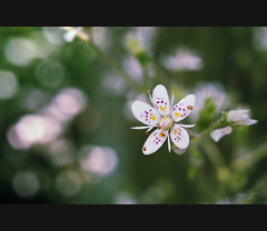 It's a small world (Photofreaks) Tags: flowers macro blossoms blumen makro blten saxifragaxurbium porzellanblmchen adengs wwwphotofreaksws shopphotofreaksws