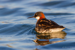 Phalaropus lobatus / Red-necked Phalarope / inshani (Jonas Ottos) Tags: red summer sun water birds animals reflections iceland pond wildlife reykjanes westfjords redneckedphalarope phalaropuslobatus canon7020028l safjarardjp canoneos7d