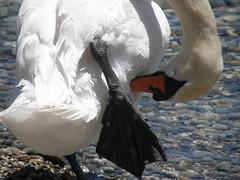 P6210020 (keepps) Tags: summer schweiz switzerland swan suisse lakegeneva vaud laclman perroy