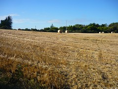 Harvest - Day 03 (O Suave Gigante) Tags: ireland blackwater wexford curracloe ballinesker ballinaclash ballyconnigar ravennaturereserve ravennaturereservewexford ballynaclash