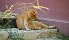 (Conan & Lana.) Tags: orange cat feline chat kittens gato felinos katze kati gatto gingercats gattini miciuzzi