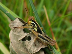 Red-legged Grasshopper nymph_2013.08.14a (Urutu_From_SW_PA) Tags: grasshopper melanoplus grasshoppernymph redleggedgrasshopper melanoplusfemurrubrum melanoplusnymph pennsylvaniagrasshoppers redleggedgrasshoppernymph melanoplusfemurrubrumnymph