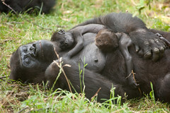 2013-07-25-15h52m47.272P0432 (A.J. Haverkamp) Tags: zoo twins gorilla arnhem thenetherlands burgerszoo dierentuin westernlowlandgorilla westelijkelaaglandgorilla canonef100400mmf4556lisusmlens httpwwwburgerszoonl ngayla dob09051993 pobarnhemthenetherlands nkato nhasa dob13062013