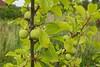 Greengages (Alan Rowley Photos) Tags: plants home brackenhouse greengage